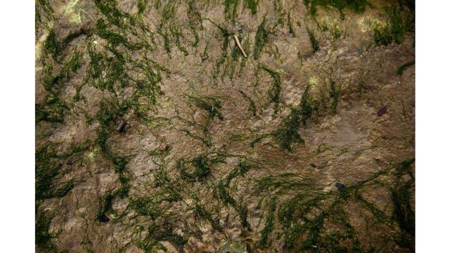 Las algas en el lecho del río