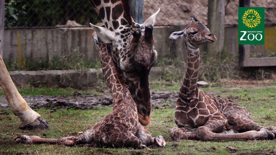 Las dos jirafas mellizas que nacieron en el zoo porteños