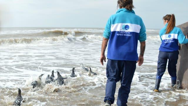 Los ejemplares de pingüinos avanzan hacia en el mar, una vez liberados