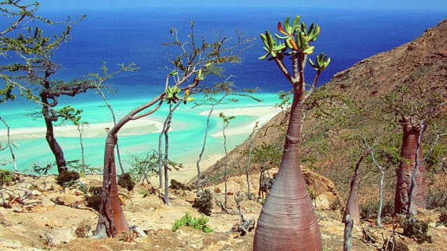 """El dendrosicyos socotrana es conocido como """"árbol pepino"""""""