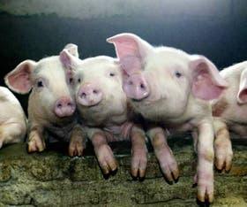 Los cerdos, en la mira de las campañas