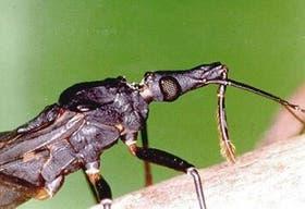 La vinchuca, vector del mal de Chagas