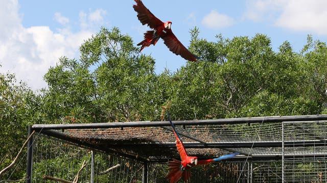 La pareja de aves, inseparables, en el momento de abandonar el jaulón. Foto: LA NACION / Santiago Hafford
