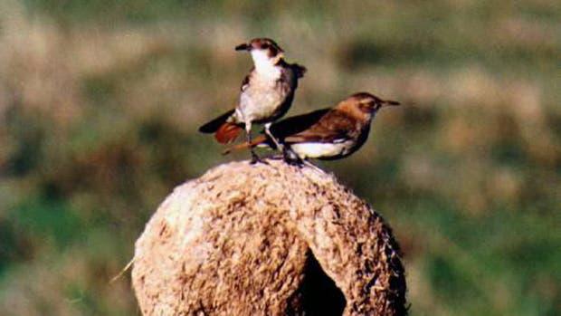 Los motivos por los cuales el hornero se convirtió en el ave nacional del país