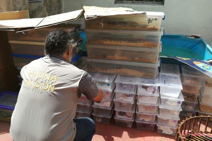 Secuestran más de 200 serpientes en departamento de Balvanera