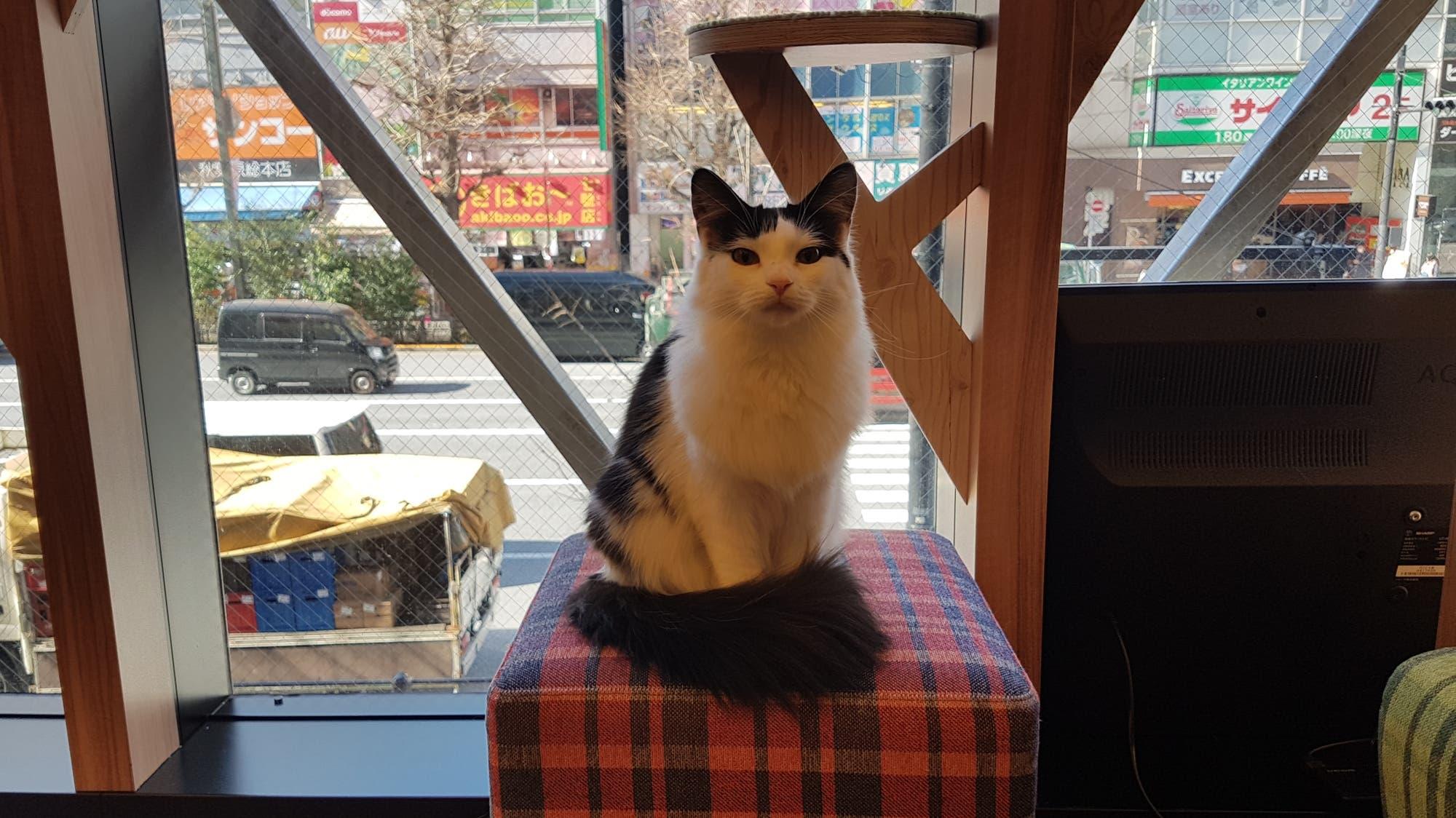 Neko café, el curioso lugar para pasar un rato con gatos en Japón