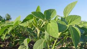 La soja requiere entender el su balance de nutrientes