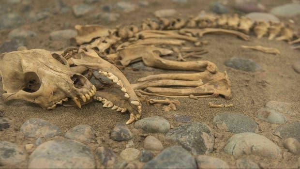 Encontraron restos de perros sacrificados al lado de tumbas de jóvenes guerreros