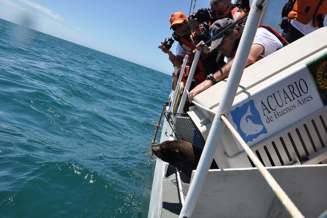 Se liberaron nueve lobos marinos en Mar del Plata