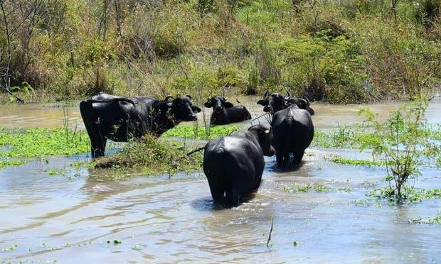 Ganado bubalino en un campo con excesos hídricos