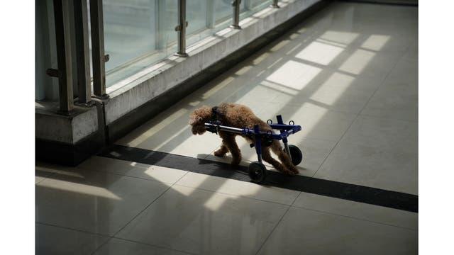 Un perro camina con una silla de ruedas en la clínica Shanghai TCM