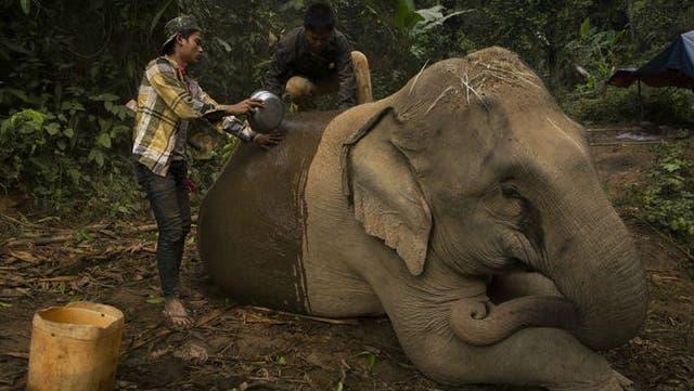 Un estudio de 2008 calculó que los elefantes que trabajan la madera en Myanmar, con un régimen estricto de trabajo y juego, llegan a vivir hasta el doble de tiempo que los elefantes de los zoológicos europeos.