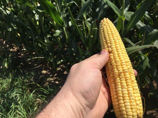 En algunas zonas el maíz desarrolló espigas más chicas por la falta de agua