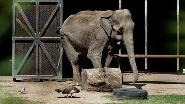 La elefanta 'Pelusa' está hace más de 50 años en un hábitat del zoo de La Plata.