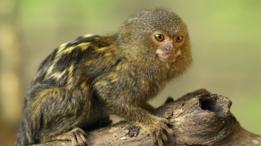 El juguete está inspirado en el primate más pequeño del mundo, el tití pigmeo.