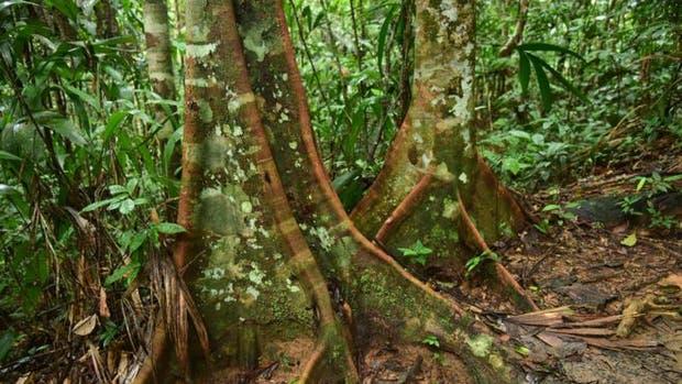 Los pobladores nativos de la Amazonía seleccionaron y plantaron decenas de especies de árboles antes de la llegada de lo colonizadores