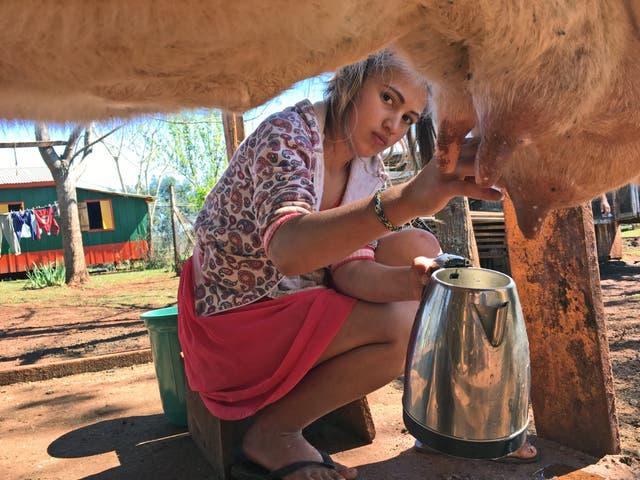 Talía Rivero, alumna de 6º, ordeña a Estrella, la vaca de la escuela
