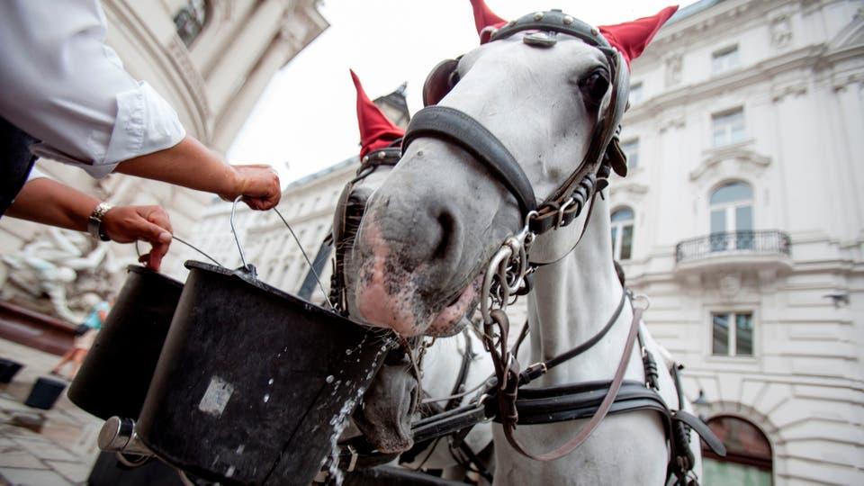 Un hombre da agua a sus caballos en Michaerlplatz en Viena, Austria. Foto: AFP