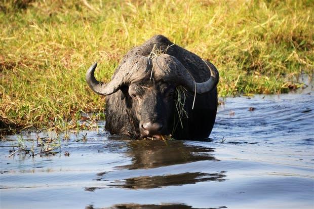 La cría de búfalo tiene potencial para seguir creciendo