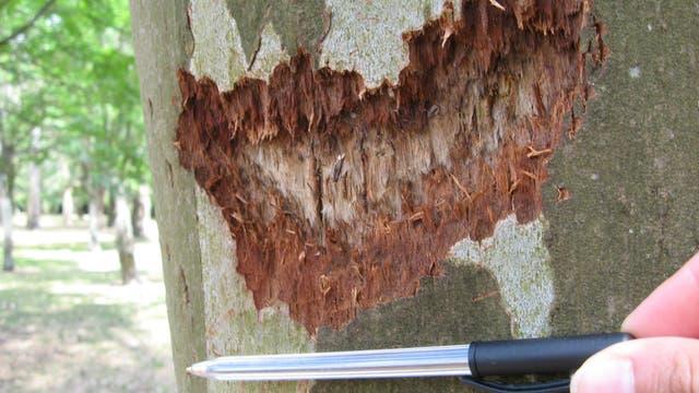 La corteza de un árbol afectada por esta especie