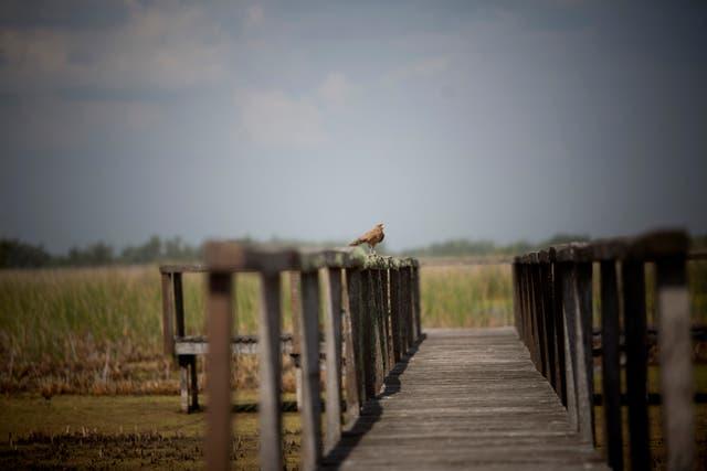 Entre las aves, sobresale la presencia de la pajonalera de pico recto, de la pava de monte y de la palomita azul. Y hay algunos registros del burrito colorado o parduzco