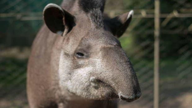 Inés, el tapir hembra de 34 años, era considerada un ícono de la conservación de la especie