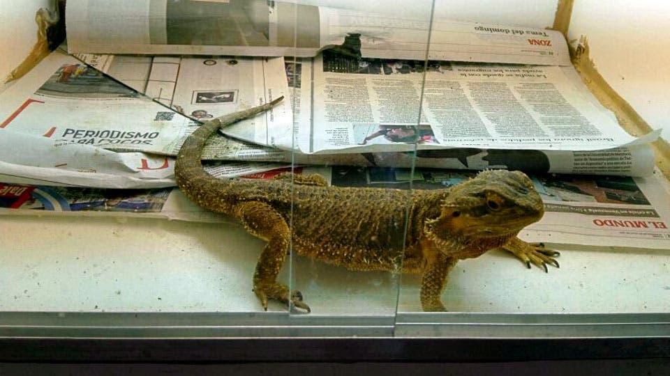 Una iguana que estaba en manos de los traficantes