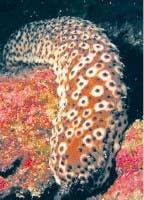 Contra el cáncer, pepino de mar