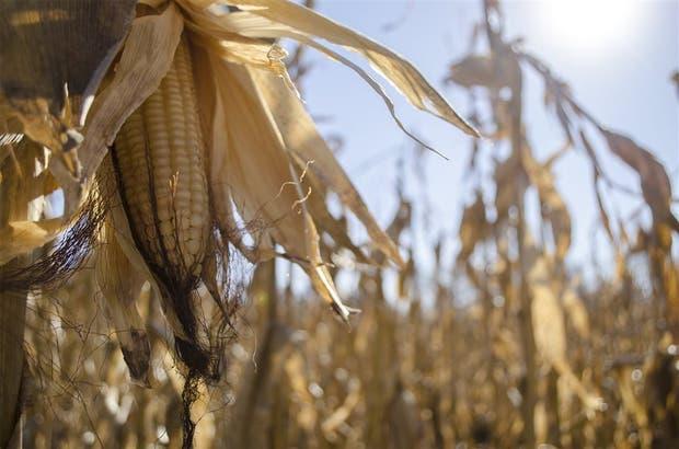 El maíz blanco vuelve a escena