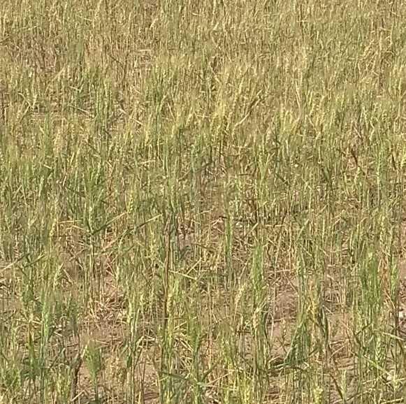 El trigo, con bajo desarollo en la zona de Sáenz Peña
