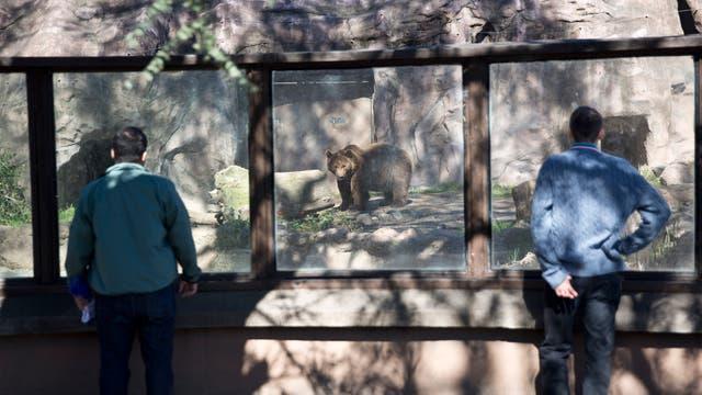 Cerca del cruce de Las Heras y Sarmiento viven actualmente seis osos (dos pardos y cuatro de anteojos)
