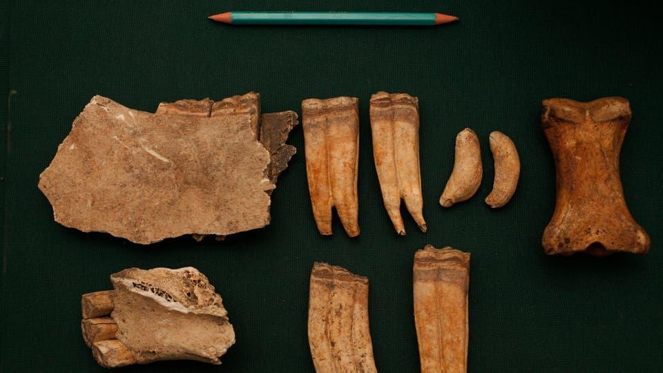 Restos de maxilar y primera falange de un caballo. Foto: LA NACION / Hernán Zenteno