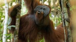 Descubren un orangután que surgió hace más de tres millones de años