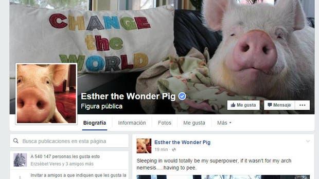 Esther, la chancha maravilla, tiene más de medio millón de likes en Facebook. Y en un libro cuentan su historia