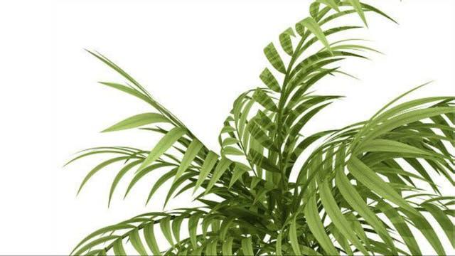 Palmera de bambú o palmera china (Raphis excelsa)