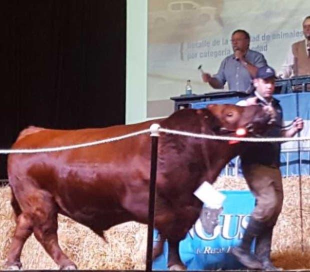 El toro colorado que hizo $ 335.000