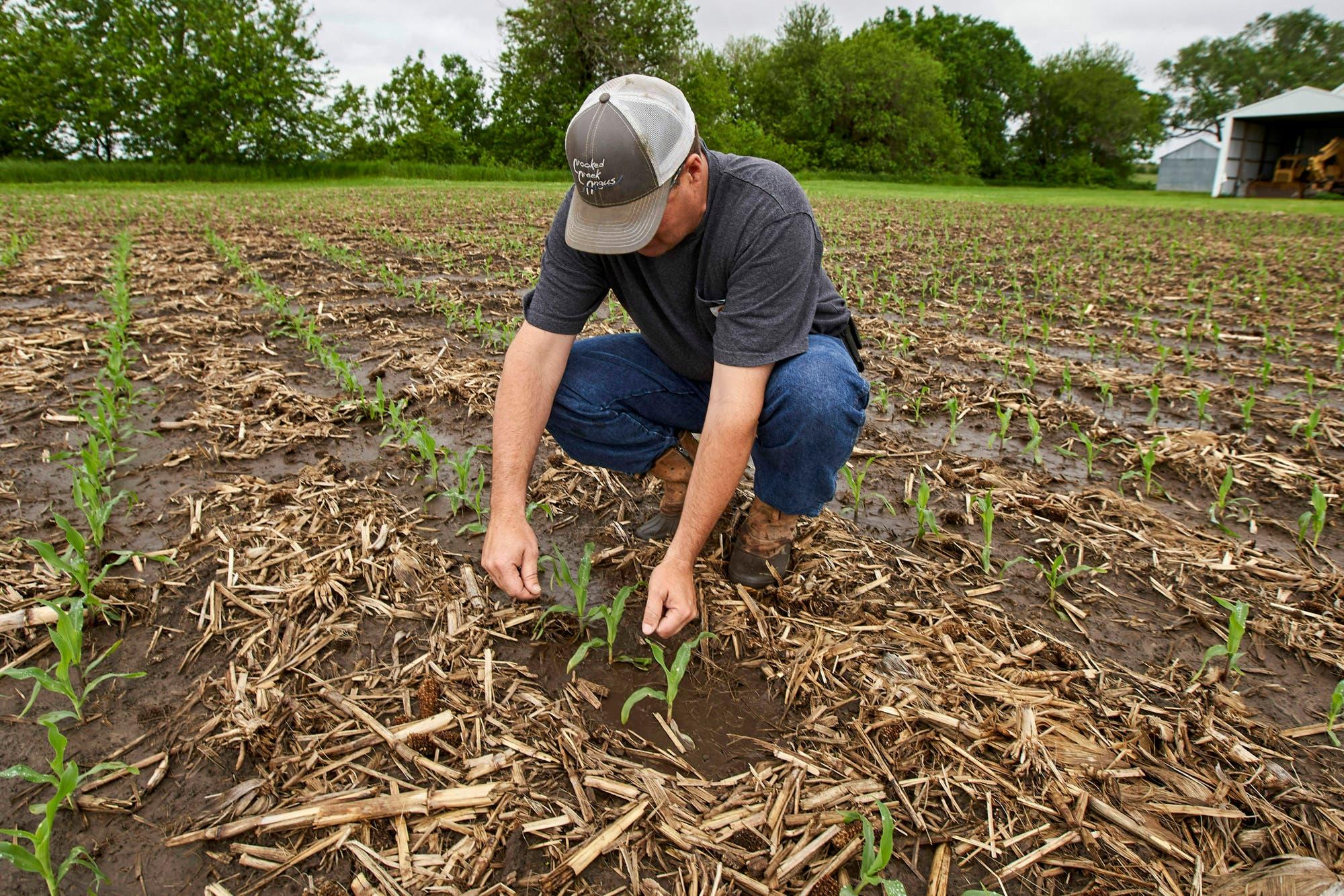 La desmejora de los cultivos en EE.UU. favoreció el repunte del valor del maíz en la Bolsa de Chicago