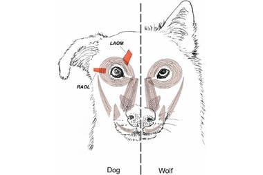 La musculatura facial de un perro (a la izquierda) y un lobo (derecha)