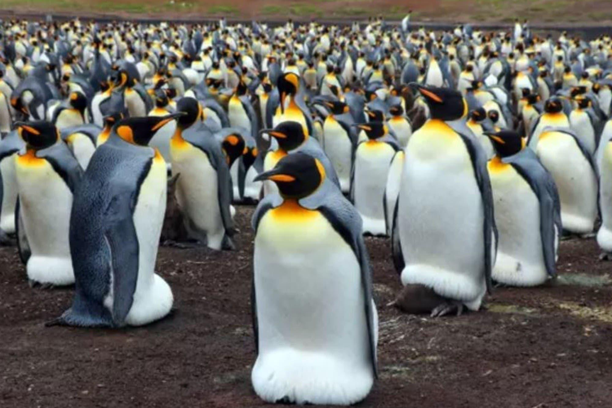 Georgias del Sur: científicos descubren que los pingüinos liberan gas hilarante en sus heces