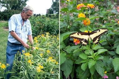 Izq.: Nicolás Mulcahy inspeccionando plantas de una hospedera de la Monarca, Asclepias curassavica. Der.: Papilio astyalus, una especie de mariposa que Nicolás está intentando reintroducir.