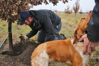 Lola, una perra bretona española de dos años, acaba de olfatear una trufa