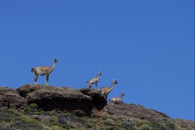 Guanacos en la meseta patagónica
