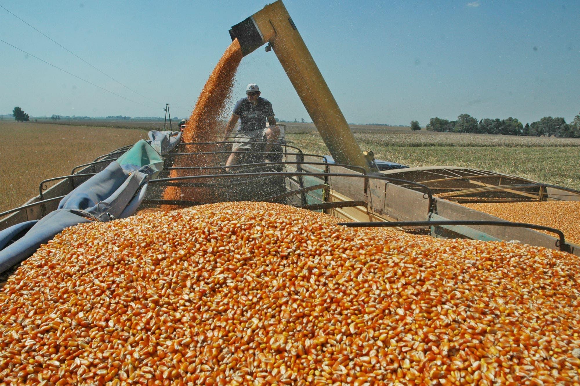 Crece la puja por el precio del maíz argentino de la nueva cosecha