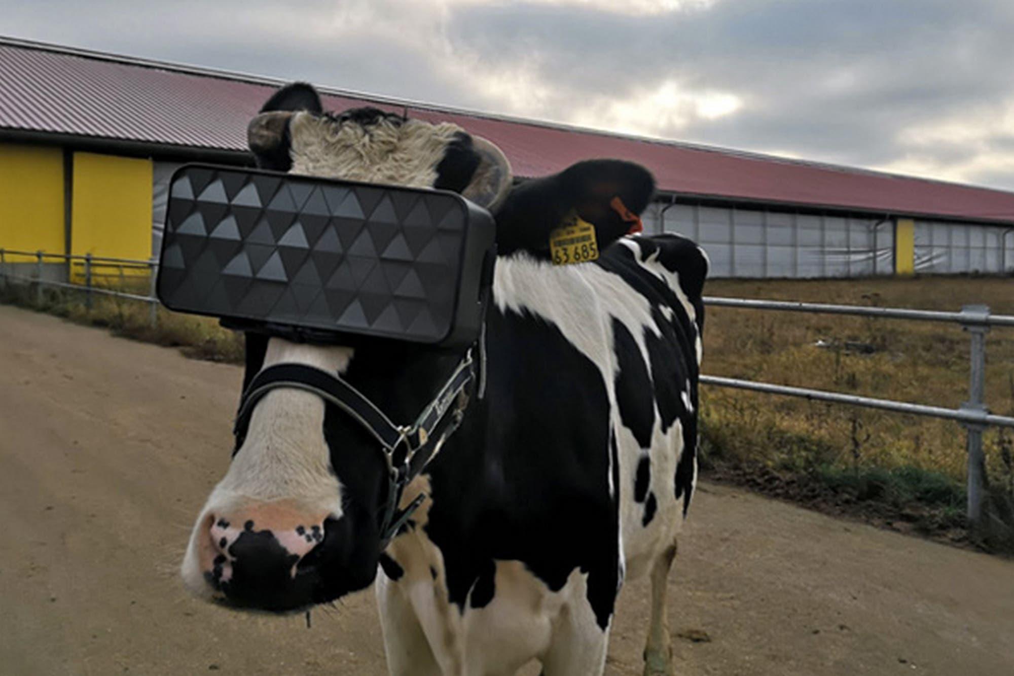 Vacas con visores: Rusia busca mejorar su producción con el uso de realidad virtual