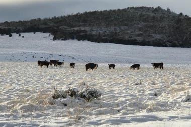 Muchos campos ovejeros se pasaron a los bovinos ante ataques de perros asilvestrados