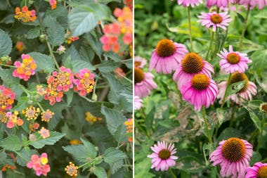 Izq.: Lantana camara, variante flor morada. Der.: Echinacea purpurea