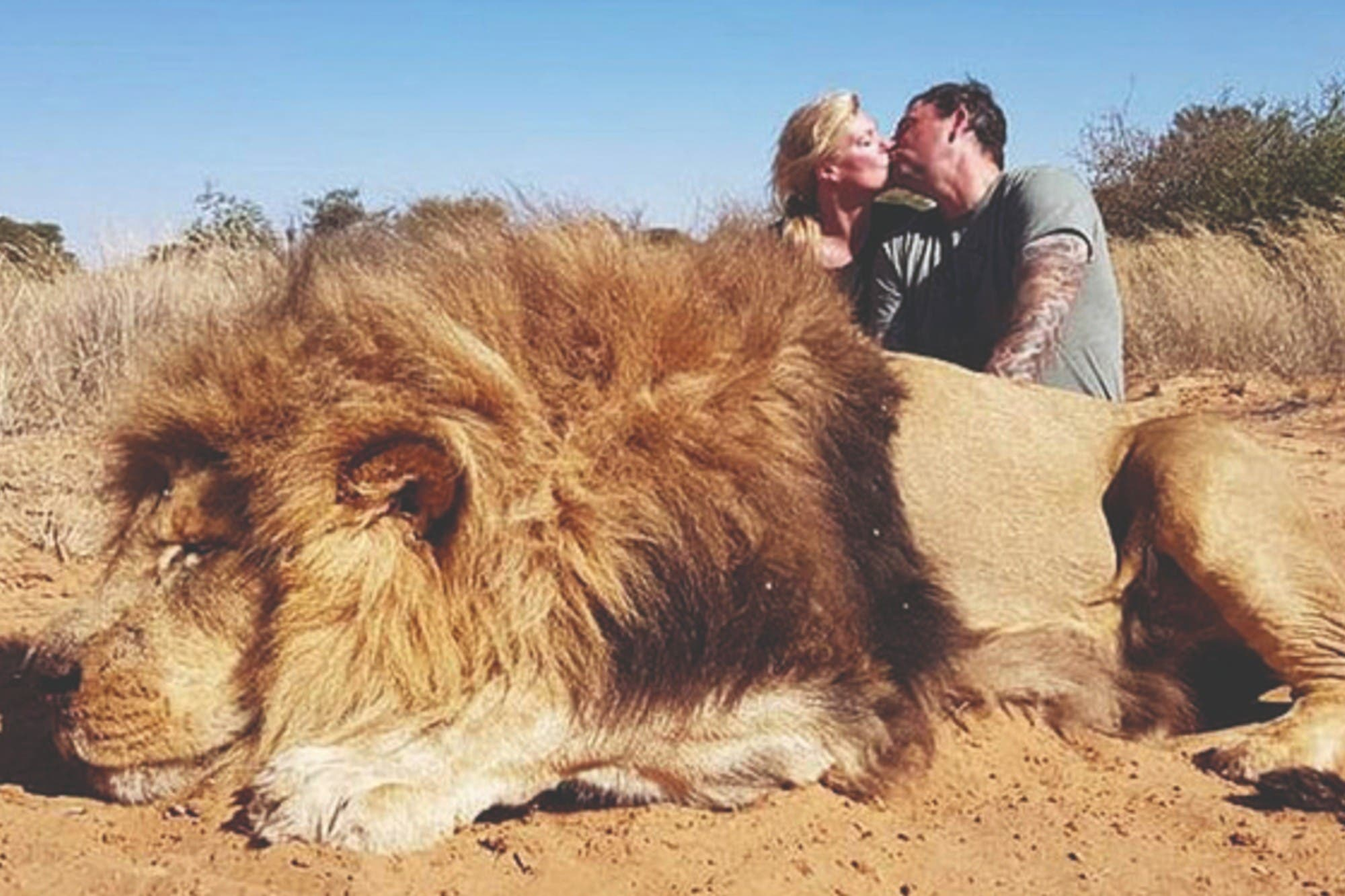 Crueldad animal: crían 12.000 leones en cautiverio para ser cazados por turistas