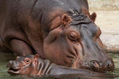 Los hipopótamos se pasean frente a las cámaras en tiempo real en el Zoo de San Diego