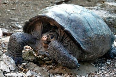 """La especie Chelonoidis phantasticus de la isla Fernandina, conocida como """"tortuga gigante de Fernandina"""", fue encontrada el domingo entre la vegetación"""