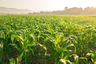 El Gobierno reabrió parcialmente las exportaciones de maíz